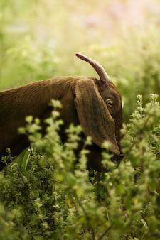 Verticale opname van een prachtige geit die planten eet in een dichtbegroeide tuin, vastgelegd op een zonnige dag
