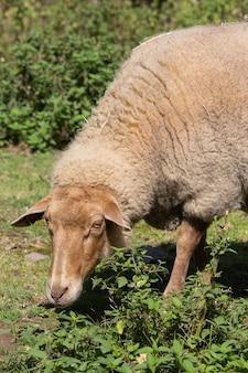 Verticale opname van een schaap in de natuur