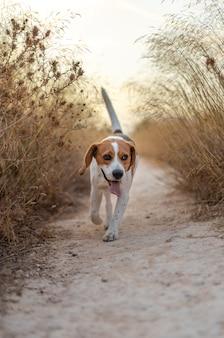 Verticale opname van een schattige beagle-hond die door de gedroogde planten op een veld rent