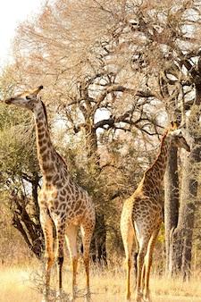 Verticale opname van een schattige en lange giraf op safari in zuid-afrika