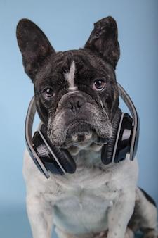 Verticale opname van een schattige franse bulldog met koptelefoon op een blauwe muur