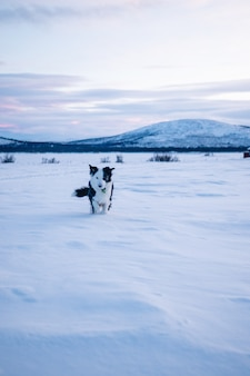 Verticale opname van een schattige hond die in het besneeuwde veld in het noorden van zweden loopt