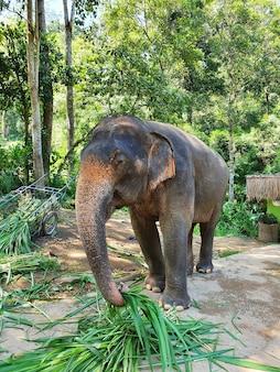 Verticale opname van een schattige olifant die bladeren grijpt terwijl de slurf in het reservaat loopt