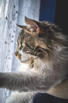 Verticale opname van een schattige pluizige maine coon-kat bij het raam