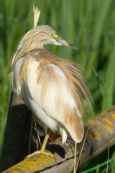 Verticale opname van een squacco-reiger op hout in het donana national park, spanje