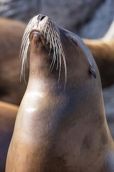Verticale opname van een zeeleeuw op de kust in het zonlicht met een onscherpe achtergrond