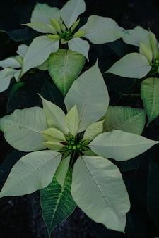 Verticale opname vanuit een hoge hoek van de poinsettia-bloemen in een tuin