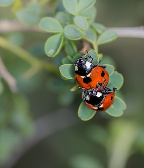 Verticale selectieve focus close-up van een parende lieveheersbeestjes op een plantenstam