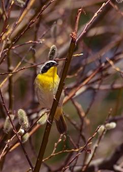Verticale selectieve focus shot van common yellowthroat warbler zat op een tak