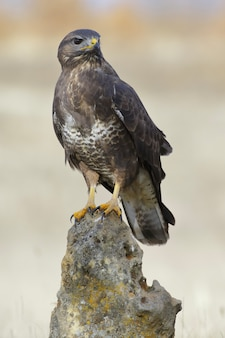 Verticale selectieve focus shot van een buizerd zat op een rots