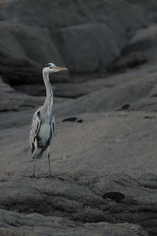Verticale selectieve focus shot van grijze reiger op een rots