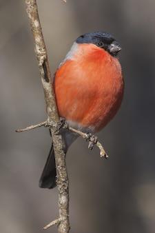 Verticale selectieve focusopname van een amerikaanse robin op de dunne tak van een boom