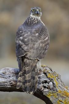 Verticale selectieve focusopname van een prachtige valk die op een dikke tak van een boom zit