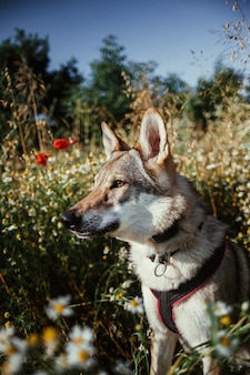 Verticale selectieve focusopname van een wolfshond die in het groen staat