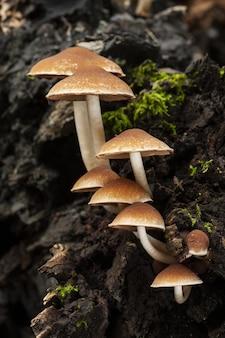 Verticale selectieve focusopname van psathyrella piluliformis die op een boomstam groeit