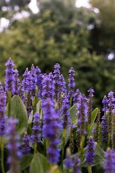 Verticale shot close-up van engelse lavendel