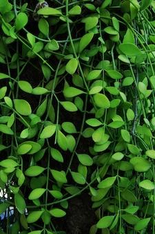 Verticale tuin met tropische groene klimop, contrast