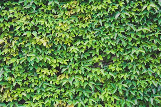 Verticale tuin, natuurlijke groene blad klimplant bedekt betonnen wand textuur