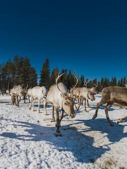 Verticale weergave van een kudde herten wandelen in de besneeuwde vallei in de buurt van het bos in de winter