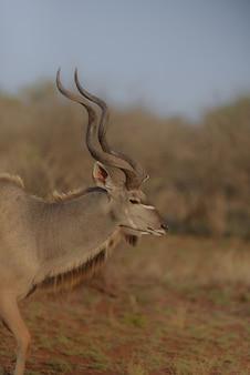 Verticale weergave van een kudu vanaf de zijkant met een onscherpe achtergrond
