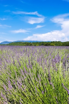Verticale weergave van lavendelveld Gratis Foto
