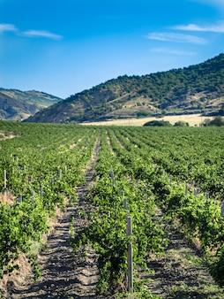 Verticale weergave van wijngaard met berg op achtergrond. wijngaard op zonnige dag met verbazingwekkende blauwe hemel. verticaal. kopieer ruimte voor tekst.
