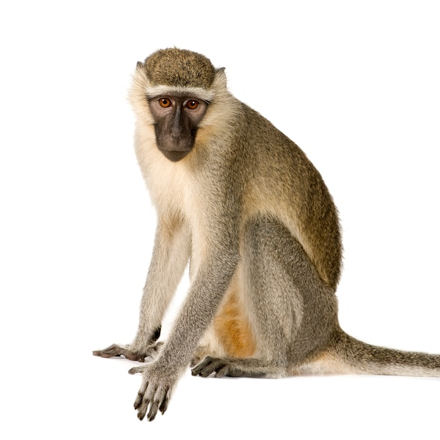 Vervet monkey - chlorocebus pygerythrus geïsoleerd