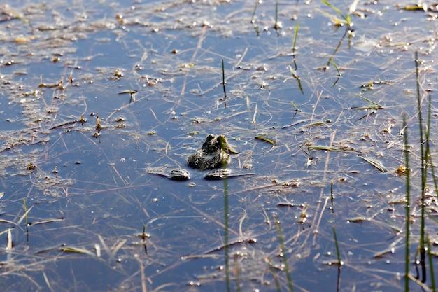 Vervuild water in het moeras waarin de groene kikkers zwemmen