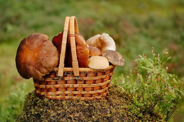 Verzamelde biologische eetbare paddenstoelen in een rieten mand in het boslandschap van de zomer