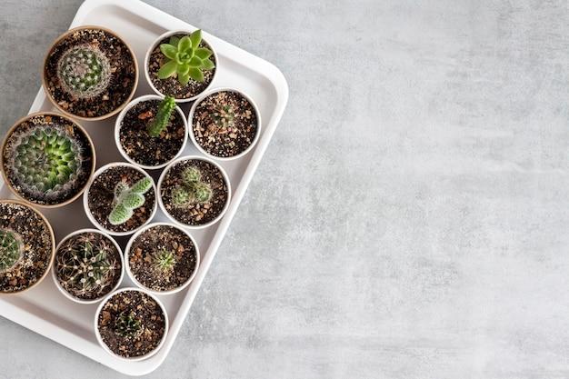 Verzameling van cactussen en vetplanten in kleine papieren bekertjes op een dienblad. huis & tuin. plat lag, bovenaanzicht. kopieer ruimte