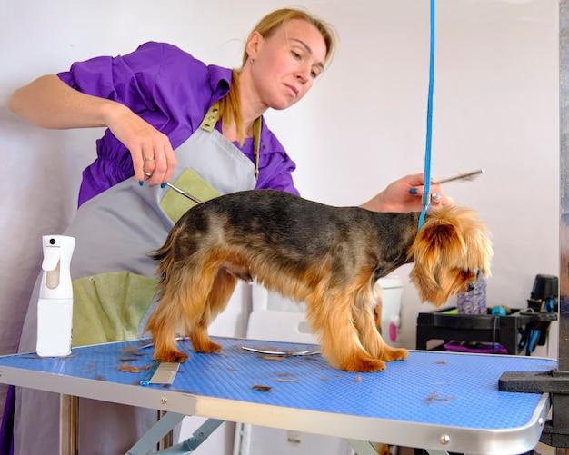 Verzorg het hondenhaar van de yorkshire terriër.