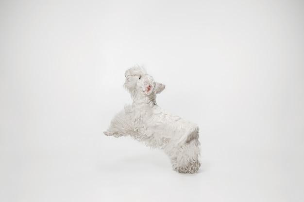 Verzorgde terriërpuppy met pluizig bont. schattige witte kleine hondje of huisdier speelt en loopt geïsoleerd op een witte achtergrond.