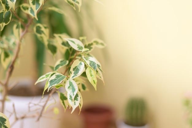 Verzorging van de plant witte ficus benjamin in een kamer met dauwdruppels
