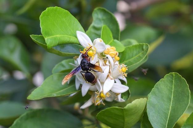 Vespa tropica-insect zuigt nectar uit bloemstuifmeel, wat een limoenbloem is