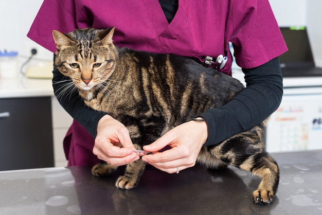 Veterinaire arts die een pil voor het ontwormen van een kat geeft