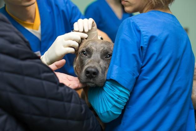 Veterinaire inspectie van de oren van de hond voor de operatie