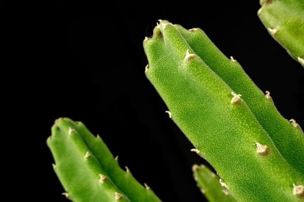 Vetplant bladeren op zwarte achtergrond close-up foto
