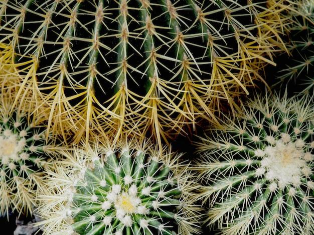 Vetplant, echinocactus grusonii vetplant