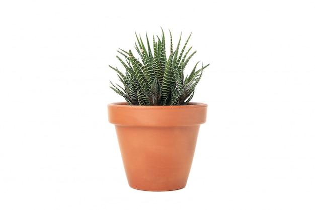 Vetplant in pot geïsoleerd