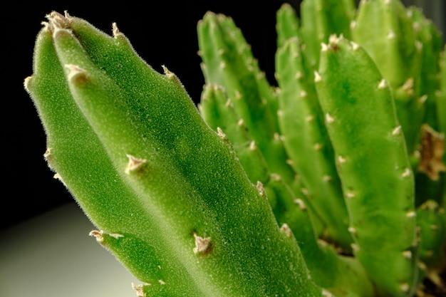 Vetplant laat op zwarte close-up foto