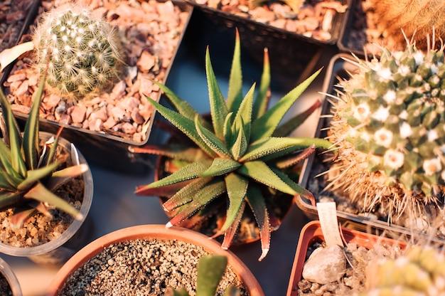 Vetplanten, echeveria kalanchoë succulente kamerplanten.aloe ostifolia is een sappige kruidachtige plant, soort van het aloë-geslacht van de asphodelaceae-familie. het concept van kamerplant voor decoratie.