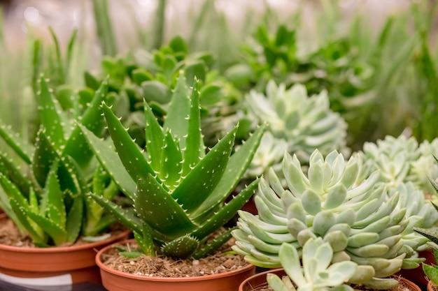 Vetplanten planten op de markt op straat