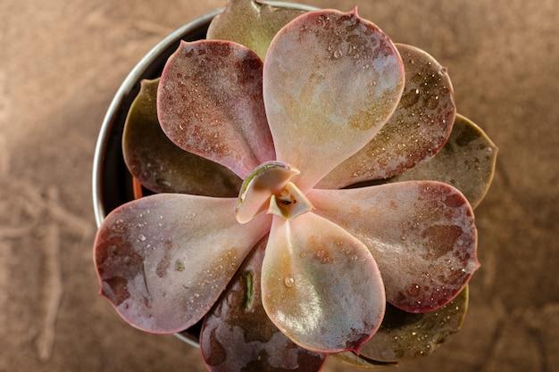 Vetplanten rood echeveria close-up