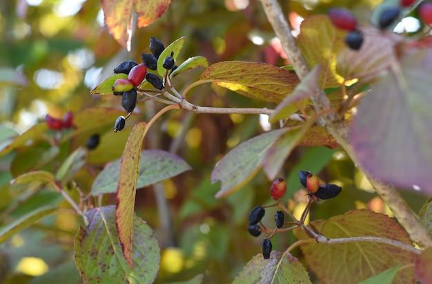 Viburnum burejaeticum-bessen groeien in het russische verre oosten