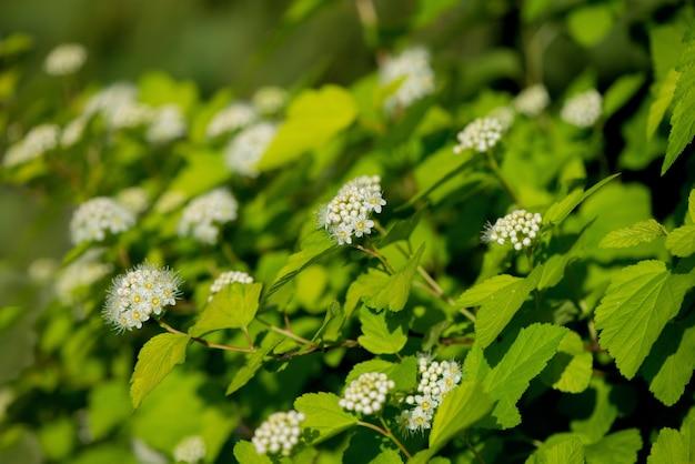 Viburnum snowball, viburnum carlesii, is een struik met bolvormige groeivorm en witte bolvormige bloemen