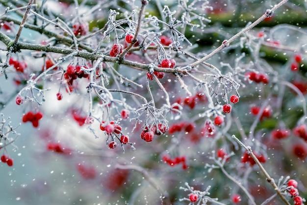 Viburnum struik met rode bessen in de winter tijdens een sneeuwval