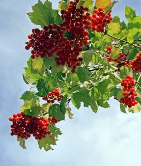 Viburnum-struik met rode bessenbossen op bewolkte hemel