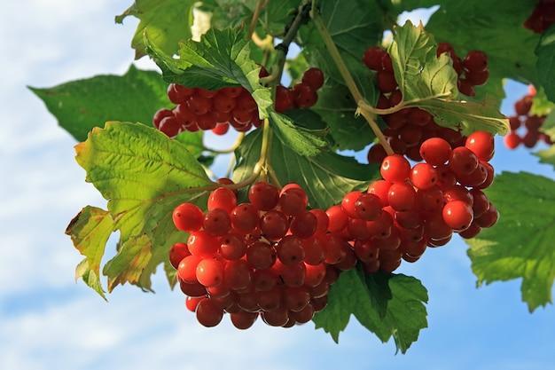 Viburnum-struik met rode bessenbossen op hemel