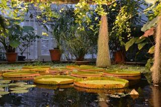 Victoria waterlelies