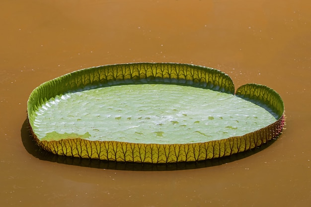 Victoria waterlily blad